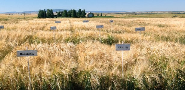 University of Idaho Ririe EVT Irrigated Results, 2020