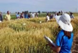 2020 University of Idaho Extension Cereal Field Days