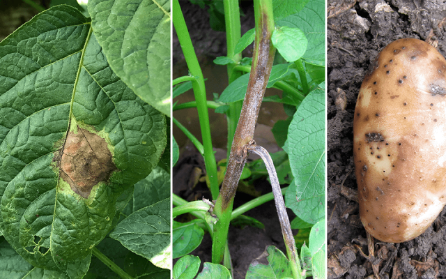 Potato late blight control recommendations for southern Idaho in 2020